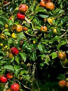9b. gravenstein apple trees -