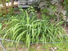 Daylilies my neighbor gave me two years ago. 5/27/15.