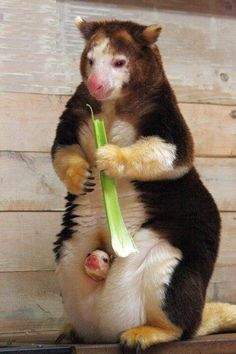 Tree Kangaroo and baby
