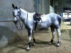 Calypso - Hearts & Horses