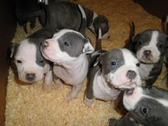 American Staffordshire Terrier puppies. Some people call them Pitbulls