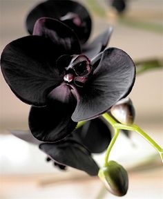 Good Images black Orchid Flower Thoughts Do you have a attractive orchid in the home that you're not very sure the best way to look after? Red Orchids, Orchids Garden, Cymbidium Orchids, Orchid Plants, Dark Flowers, Unusual Flowers, Amazing Flowers, Beautiful Flowers, Gothic Garden