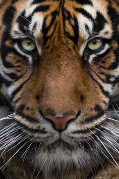 Sumatran Tiger-The most beautiful,in my opinion, Big Cat.Also the biggest,heaviest,tallest and most endangered of all Big Cats Animals And Pets, Baby Animals, Cute Animals, Funny Animals, Beautiful Cats, Animals Beautiful, Big Cats, Cats And Kittens, Photo Animaliere