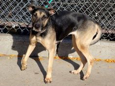 SAFE --- Manhattan Center   LILY - A1021066    +++EXPERIENCED HOME+++  FEMALE, BROWN / BLACK, GERM SHEPHERD MIX, 4 yrs STRAY - STRAY WAIT, NO HOLD Reason STRAY  Intake condition INJ MINOR Intake Date 11/18/2014, From NY 10466, DueOut Date 11/21/2014, https://www.facebook.com/photo.php?fbid=908754235804123