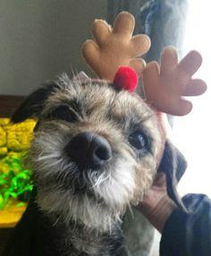 Keiko the border terrier cute as ever!!!