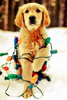 i love southern weddings christmas golden retriever puppy tangled up in christmas lights