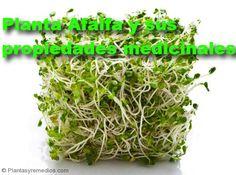 Alfalfa y sus propiedades medicinales
