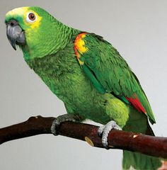 "Enrichment for Pet Birds & Parrots ""Nothing makes me more impatient than a mediocre vocabulary.""Nothing makes me more impatient than a mediocre vocabulary. Tropical Birds, Exotic Birds, Colorful Birds, Parrot Pet, Parrot Toys, Parrot Bird, Puffins Bird, Amazon Parrot, Conure"