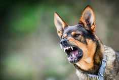 Could gut bacteria play a role in diagnosing or treating aggression? Researchers say the potential for therapy is exciting but not ready for prime time. Group Of Dogs, Pet Dogs, Pets, Aggressive Dog, Dog Fighting, Chimpanzee, Dog Portraits, Dog Behavior, Happy Dogs