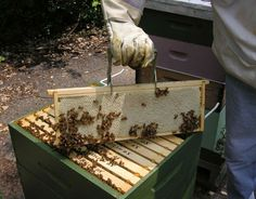Beekeeping is a growing trend among the green community that can help our vegetables, flowers and other garden plants thrive.  TheDailyGreen.com