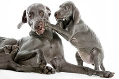 WHY WEIMARANERS: Cat Photography | Dog Photography | Pet Photography | Gary Parker, San Jose, CA, Silicon Valley & the San Francisco Bay Area, award winning photojournalistic and studio photographer of cat and dog photography for national advertising and local advertising