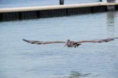10_Pelikan-Curacao-Spanish-Waters