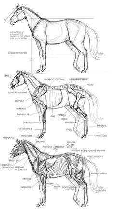 Horse anatomy. I'm starting to think I need a whole board just for horse references...
