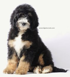 Bernese Mountain Dog and Poodle. hypoallergenic and doesn't shed-OMG love, especially since Bernese Mountain dogs are one of my favorite dogs, and even though I hate poodles. Love My Dog, Cute Puppies, Cute Dogs, Dogs And Puppies, Doggies, Baby Dogs, Adorable Babies, Poodles, Baby Animals