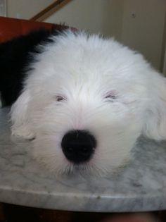 Dugan, 4 months, Old English Sheepdog