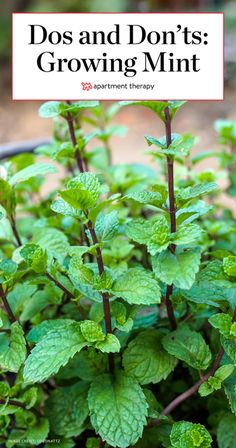 The Dos & Don'ts of Growing Mint The Dos & Don'ts of Growing Mint,Garden ideas Mint Plant Care Tips – Dos Don'ts Garden Care, Mint Plant Care, Organic Gardening, Gardening Tips, Gardening Quotes, Gardening Magazines, Pallet Gardening, Fairy Gardening, Texas Gardening