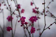 Fragrant plum... Early spring plum blossoms  by Naoya Yoshida on 500px.