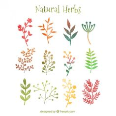 Watercolor Herb illustrations, free vector download. Natürliche Kräuter in Aquarell-Stil