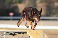 Kelpie Large Dogs, Small Dogs, Barney & Friends, Pet Dogs, Pets, School Of Visual Arts, Different Dogs, Horses And Dogs, Dog Agility
