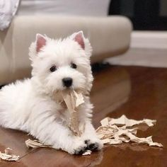 Check out our store for the best Westie designs CLICK the link in our bio @westiemoments Made in the USA International delivery .  credit: @casperthewestiee . For feature follow us + tag #westiemoments .
