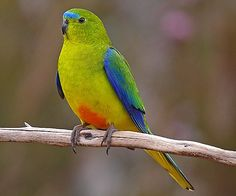 Birds Parrots Orange-bellied Parrot, Australia
