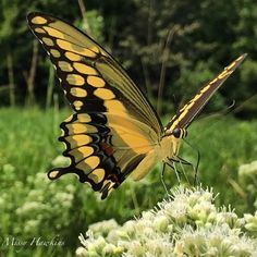 Missy Palmer Hawkins  ·   Giant Swallowtail, swallowing