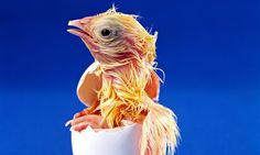 How does a chick breathe in the egg? - http://newsrule.com/how-does-a-chick-breathe-in-the-egg/