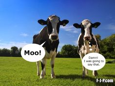 Funny Two Cows Moo Meme Joke Picture