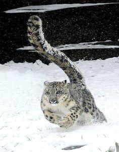 Kuyruğuyla efsaneleşmiş olan kar leoparı, ortalama değerlerle 30 ve 60 kilo civarında ağırlığa sahiptir ve kuyruğu dahil 1.5 metre uzunluğa ulaşabilir. Orta Asya'nın dağlarında yaşayan kar parsının patileri, yaşadığı bölgenin karlı yapısına ayak uydurmuş doğal kar ayakkabılarıdır. Bu geniş patiler karda batmasını engellerken, avına karşı hız ve çeviklik için oldukça avantaj sağlar. Büyük ve güçlü bacakları, 15 metreye kadar sıçrayabilmelerini sağlar. Büyük ve heybetli kuyruklarını dağ…