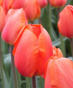 Tulip Lightning Sun - Giant Darwin Hybrid Tulips - Tulips - Flower Bulb Index