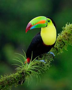 "Un compte Instagram à découvrir absolument pour les amoureux du Costa Rica -> Juan Carlos Vindas (@juancarlosvindas_photography) sur Instagram : ""Who wants some Frootloops? This is our most colourful toucan in Costa Rica. Keel-billed Toucan.…"""