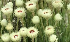 fynbos | protea | erica