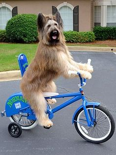 Norman the Scooter Dog #briard