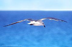 Cancún  Sentir la brisa, ver el azul profundo de las aguas de Cancún son un deleite para los visitantes y para las aves.  Es una gran lugar para tomar fotografías.