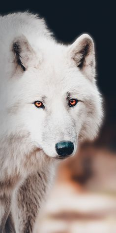 The white wolf, portrait wallpaper - Animals Wallpapers - Wolf Photos, Wolf Pictures, Wolf Wallpaper, Animal Wallpaper, Wallpaper Wallpapers, Animals And Pets, Funny Animals, Cute Animals, Beautiful Creatures