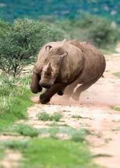 Running Rhinoceros in Kaziranga National Park, India.