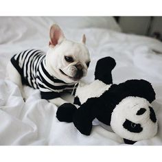 Theo, the French Bulldog, wearing a Pipolli Tee and playing with Panda, @theobonaparte on instagram