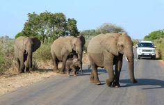 Safari en Parc National ou Réserve privée ? Deux expériences différentes - Blog Ekima Parc National Kruger, Safari, Elephant, Blog, Africa Travel, Us National Parks, Wild Animals, Elephants, Blogging