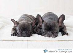 sleeping frenchies