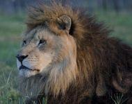Lucci the Lion!
