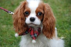 ready for the Holidays.  ....cavalier king charles