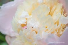 Peony Photography ~ Dreamy Floral Wall Art ~ Soft Pink Feminine Art ~ Bedroom Decor ~ Creamy Yellow Wall Art ~ Peony Print ~ Flower Photo by #NancyJCreates ~ $14 and up