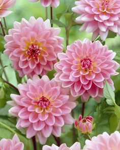 Image result for Gerrie Hoek dahlia