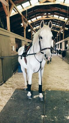 grey horse ready to be ridden Cute Horses, Pretty Horses, Horse Love, Beautiful Horses, Horse Photos, Horse Pictures, Cavalo Wallpaper, Arte Equina, Horse Riding
