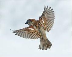 Znalezione obrazy dla zapytania sparrow in flight