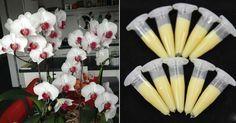 Ez a szer igazi kincs minden orchideát szeretőnek! Rendkívül pompázatos virágzat…
