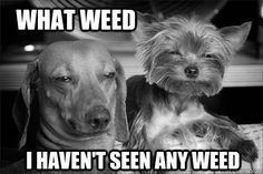 What weed...   ...........click here to find out more     http://googydog.com