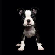 Boston terrier puppy  please~ how friggin cute, this will be the next dog I get!