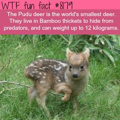 WTF Facts : funny, interesting & weird facts — The Pudu deer Cute Funny Animals, Cute Baby Animals, Funny Cute, Animals And Pets, Wild Animals, Wtf Fun Facts, Funny Facts, Bambi, Animal Facts