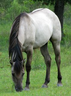 """Grullo is a color of horses, and occurs in several different breeds. It is considered a part of the dun color group, characterized by tan-gray or mouse-colored hairs on the body, often with """"primitive"""" markings such as dark face, cobwebbing at eyes & forehead, dark mottling on the body, leg barring, dark ear tips & edging, dark ear barring, dark shadowing of the neck, dark dorsal and transverse striping, and dark mane and tail guard hairs"""